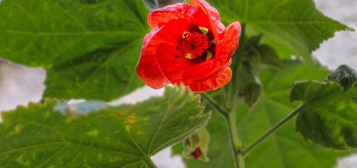 Hľadáte ideálne izbovú rastlinu do interiéru? A čo napríklad abutilon?